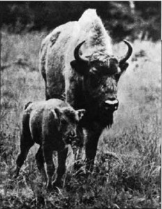 "The stumbras returned to Lithuania after an absence of over 200 years. The first calf was born in 1971 at the Pašiliai preserve. It was named ""Lieknas (""Slender"")."
