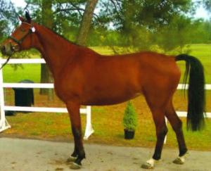 A Trakėnai horse.