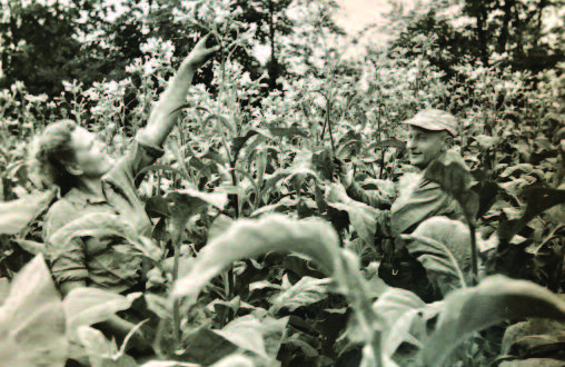 Elena Bersėnas reaches for the top of a tobacco blossom as husband Juozas looks on.