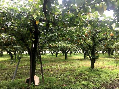 Kriaušių ferma Ibaraki prefektūroje. Metalinis tinklas, laikantis medžių šakas, įtaisytas tokiam aukštyje, kad savininkai galėtų praeiti laisvai.