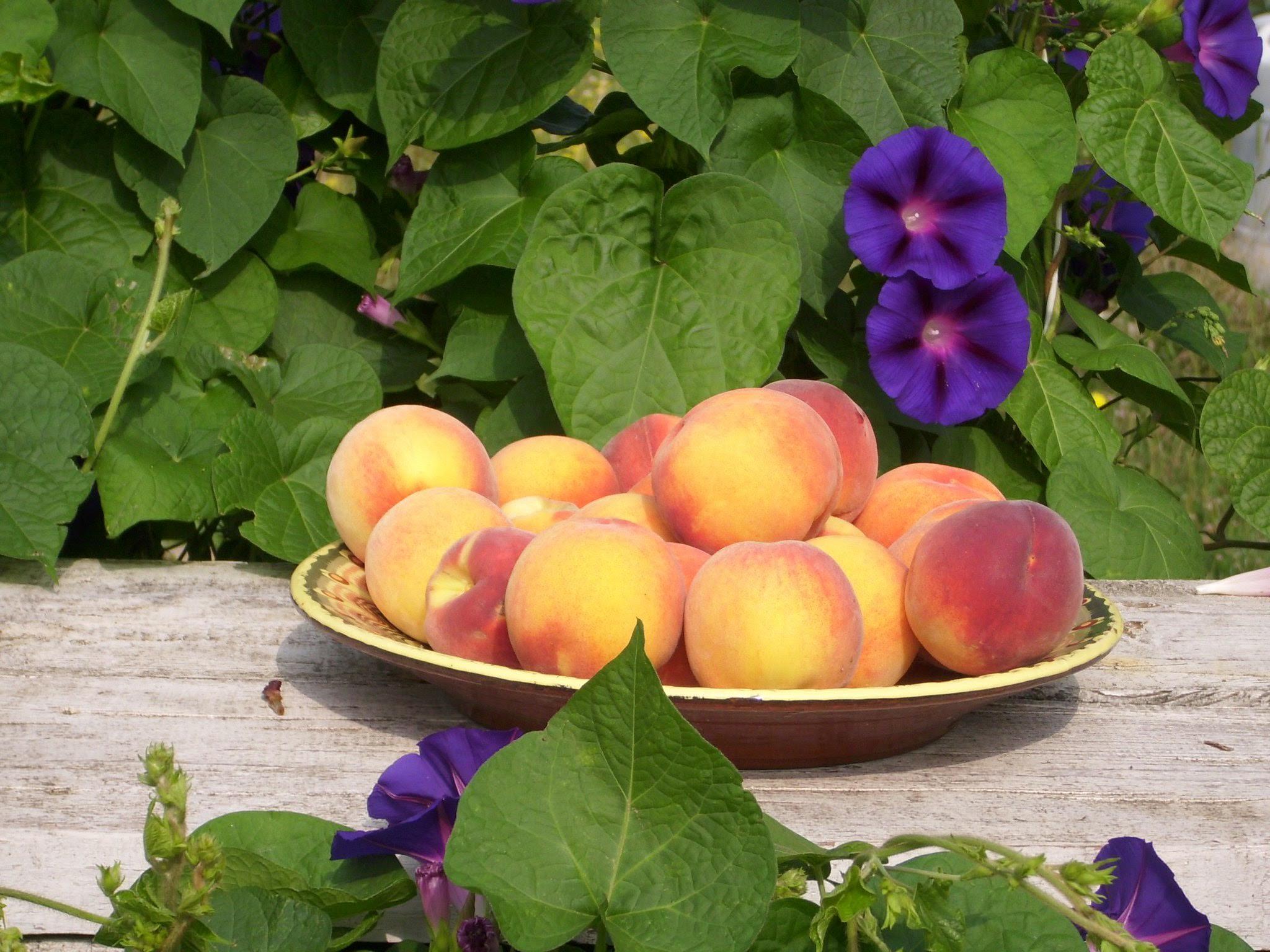 Bulgarijos saulės sunokinti, gryno oro užauginti persikai.