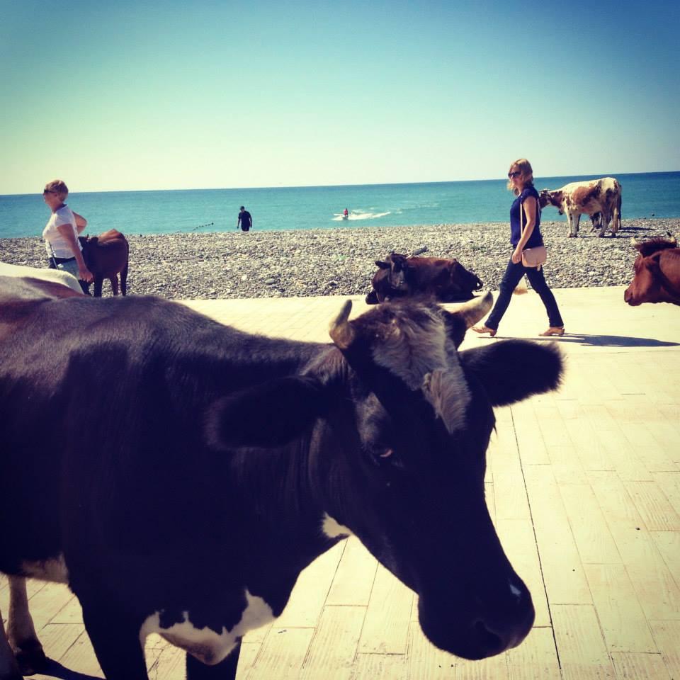 Įprasti ir kasdieniai Sakartvelo vaizdai: pliaže besiganančios karvės.