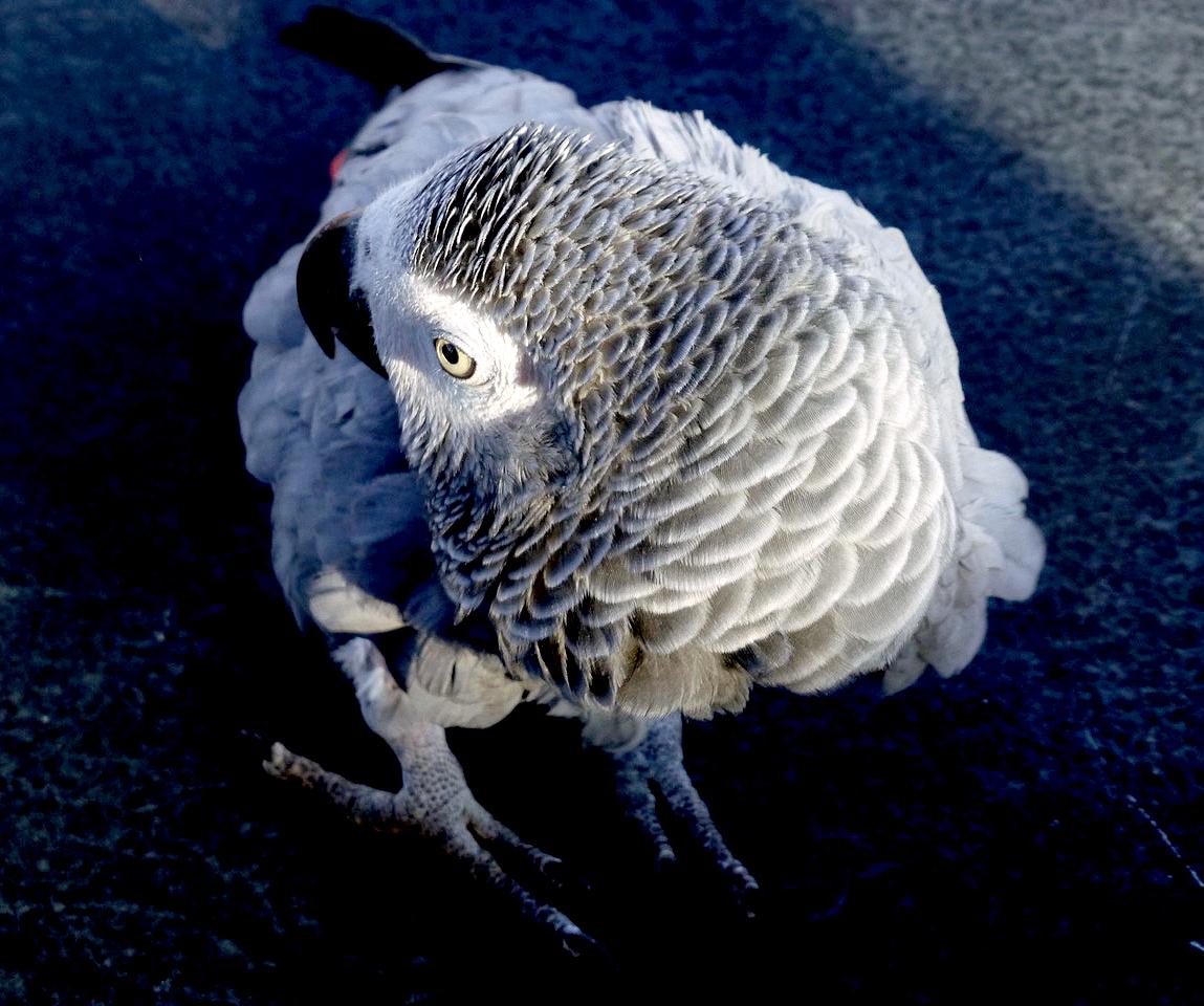 Afrikos pilkoji papūga, vardu Papūga.