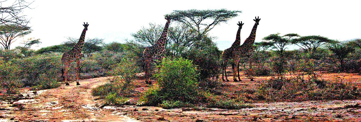 Sutikti kelyje žirafą – įprastas reiškinys.
